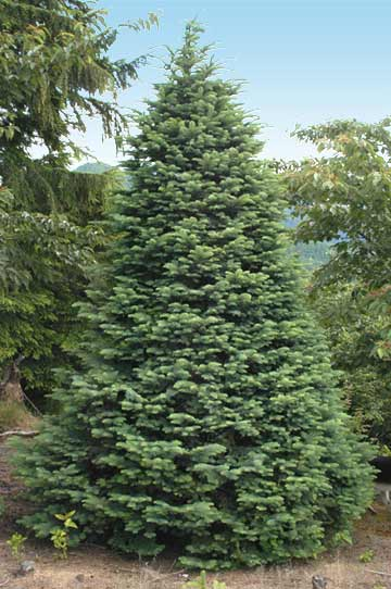 6524487aa0a Bear Canyon Tree Farm - Varieties
